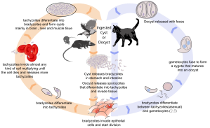 Toxoplasmosis_life_cycle_en.svg_